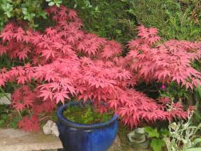 japanese maple garden and plant photos plantadvice co uk