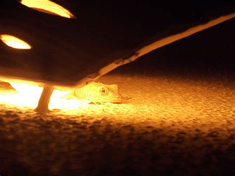 leopard gecko lighting at night the ultimate leopard gecko care sheet