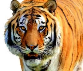 tiger colors brownish orange tiger colors photo 34705056 fanpop