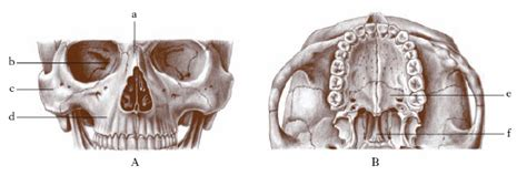 arteria mascellare interna mascella nell enciclopedia treccani