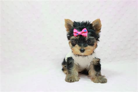 how much are yorkie poos worth adopt a yorkie dc photo