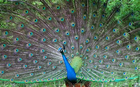 desktop nature wallpaper indian blue peacock free peacock desktop wallpapers free on latoro com