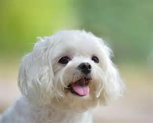 hypoallergenic breeds maltese adorable