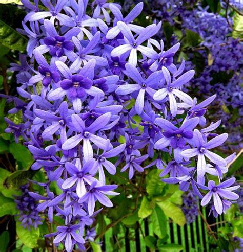 cara membuat curan warna ungu berkenalan dengan si cantik petrea bunga rambat dari