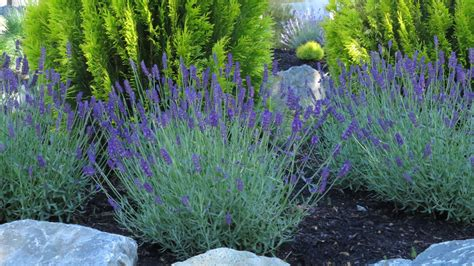 Lavandula Angustifolia Hidcote Blue 2479 by The Gallery For Gt Hidcote Superior Lavender