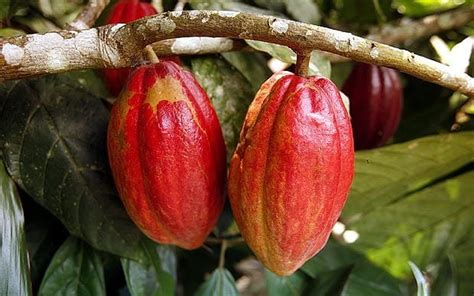 The Cocoa Cocoa Genome Will Lead To Chocolate That Can Improve Your