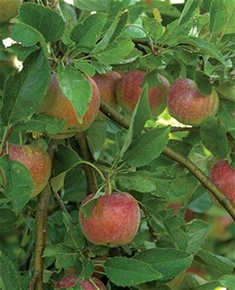 minnesota fruit trees 17 best images about fruit trees on gardens