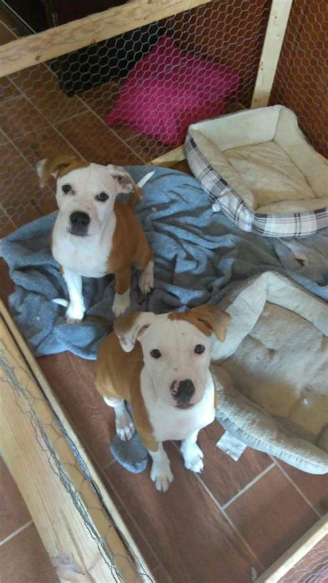 buy puppies houston pitbull puppies for free in houston tx breeds picture