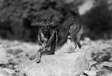 Rin Tin Tin every has its day at the academy oscars org