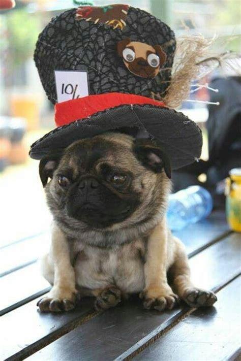 pug pipe pugs pug and memes on