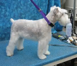 schnauzers hair cuts 7 pageant worthy schnauzer dog haircuts hairstylec