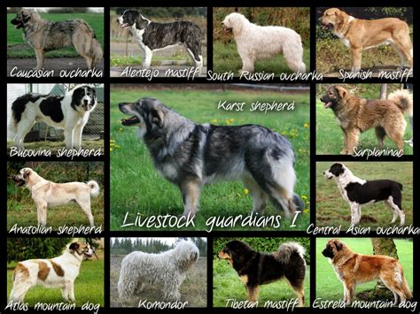 livestock guardian breeds livestock guardian dogs stock dogs guardians livestock and