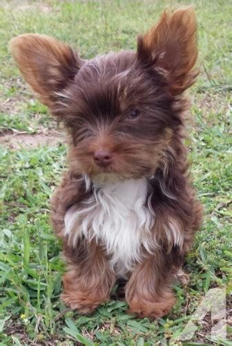 yorkies for sale in killeen tx chocolate yorkie for sale in belton classified americanlisted