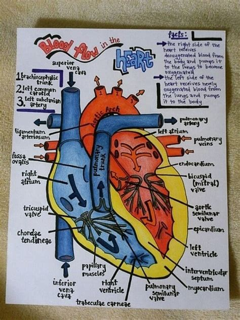 blood flow through the brain diagram blood anatomy and to draw on