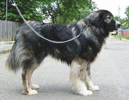 carpathian shepherd carpathian sheepdog carpathian shepherd info temperament puppies pictures