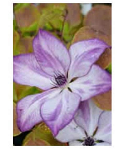 Clematis Fond Memories 3239 by Clematis Westcountry Nurseries