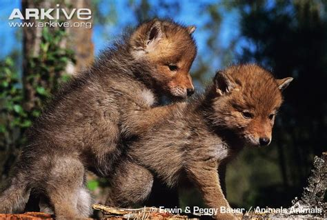 coyote videos photos and facts canis latrans arkive coyote photo canis latrans g62004 arkive