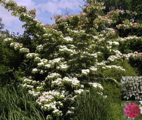 Winterharte Stauden Pflanzen 931 by Cornus Kousa Bot Chinesischer Blumenhartriegel 40