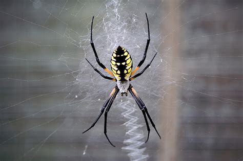 Black And Yellow Garden Spider by Black And Yellow Garden Spider Flickr Photo