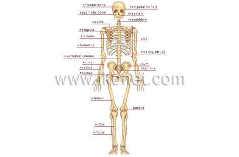 search results for human diagram in