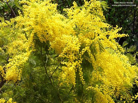fiore mimosa immagini 8 marzo auguri a tutte le donne 171 parrocchia san