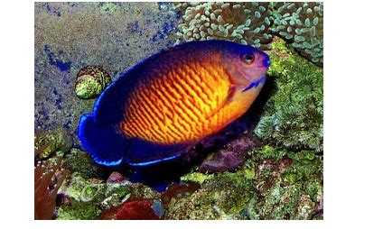 Makanan Ikan Hias Frontosa jenis ikan hias air tawar paling cantik serta harganya