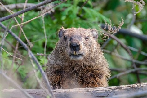 groundhog day live in burrows across the city it s groundhog day year