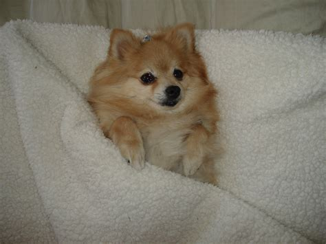 rescue a pomeranian how i became pommy a pomeranian rescue story