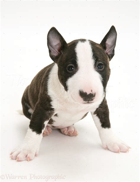 miniature bull terrier puppies for adoption bull terrier puppies for adoption bazar