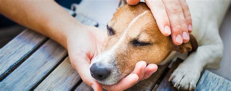 can dogs get fevers fever in dogs