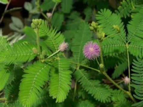 daun tanaman liar  miliki khasiat melebihi obat kuat
