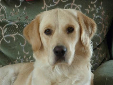human allergies to golden retrievers golden retriever facts and information viovet
