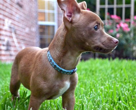 pitbull mixed with chihuahua puppies pitbull chihuahua mix hyper and loyal