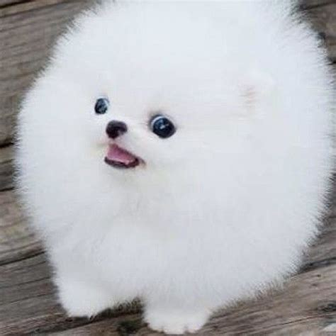 white fluffy pomeranian puppies 18 best pom puffball images on adorable animals baby puppies and cubs