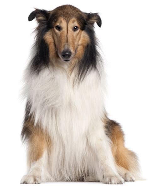 what type of was lassie collie information facts pictures and grooming