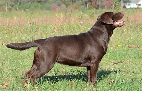 chocolate lab puppies oregon chocolate lab puppies for sale in oregon