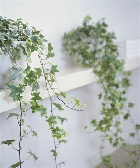 indoor climbing plants 104 best indoor green with white or ivory decor images
