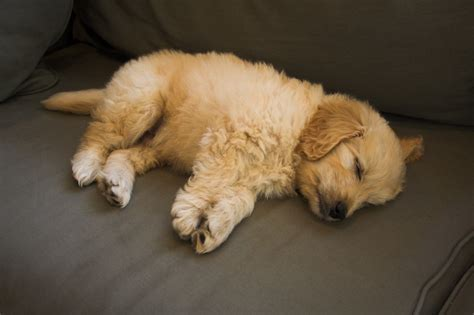 pictures of goldendoodle puppies goldendoodle puppy pictures goldendoodle puppy 0098