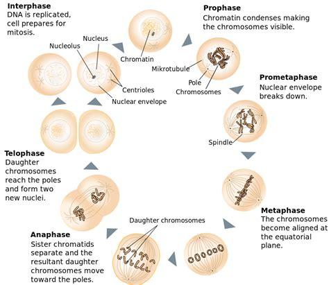 mitosis diagram file mitosis schematic diagram en svg wikimedia commons