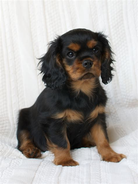 king charles puppies puppies for sale cavalier king charles spaniel dallas breeder