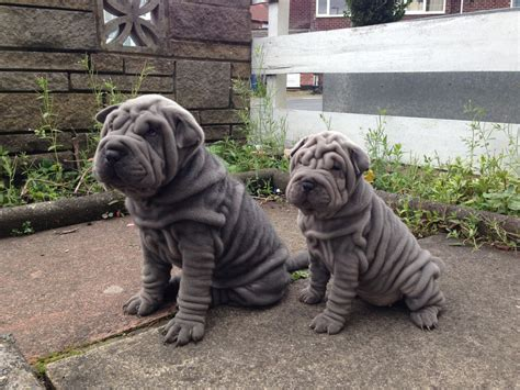 miniature shar pei puppies for sale blue miniature kc ready now manchester greater manchester pets4homes