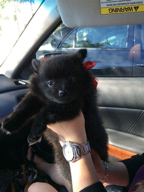 pomeranian tuxedo solid black pomeranian puppy adorable pomeranians