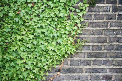 plants that climb walls climbers