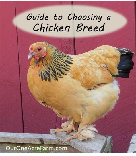 best backyard chickens for eggs best chicken breeds for and eggs with best backyard