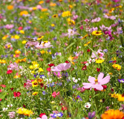 Garden Flower Seeds Choosing Zone 5 Wildflowers Learn About Growing Cold Hardy Wildflowers