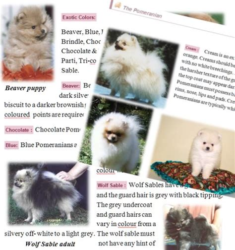 pomeranian colours pomeranian colors pomeranian information care pictures