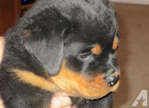 rottweiler pups for sale in michigan hion sired rottweiler puppies for sale for sale in cheboygan michigan classified