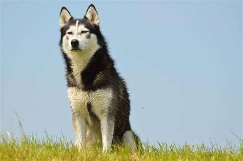 dogs 101 husky all about huskies 8 facts you may not known iheartdogs