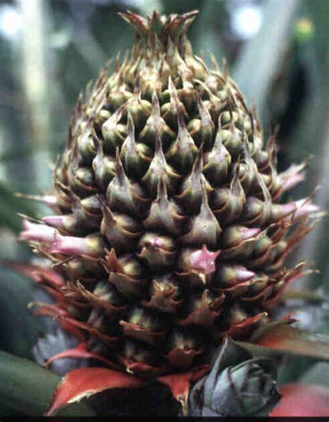Small Flowering Shrub - pineapple ananas comosus fruit crops