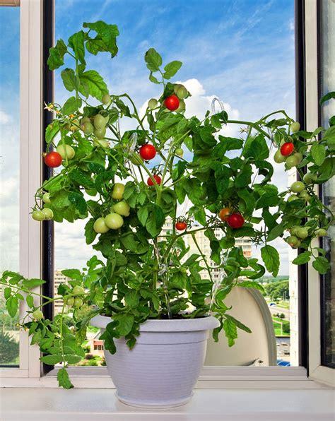 Apartment Tomato Plants Apartment Gardening Ideas Growing Fruits Herbs